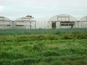 Pippa and John's fields....looking towards the polytunnels