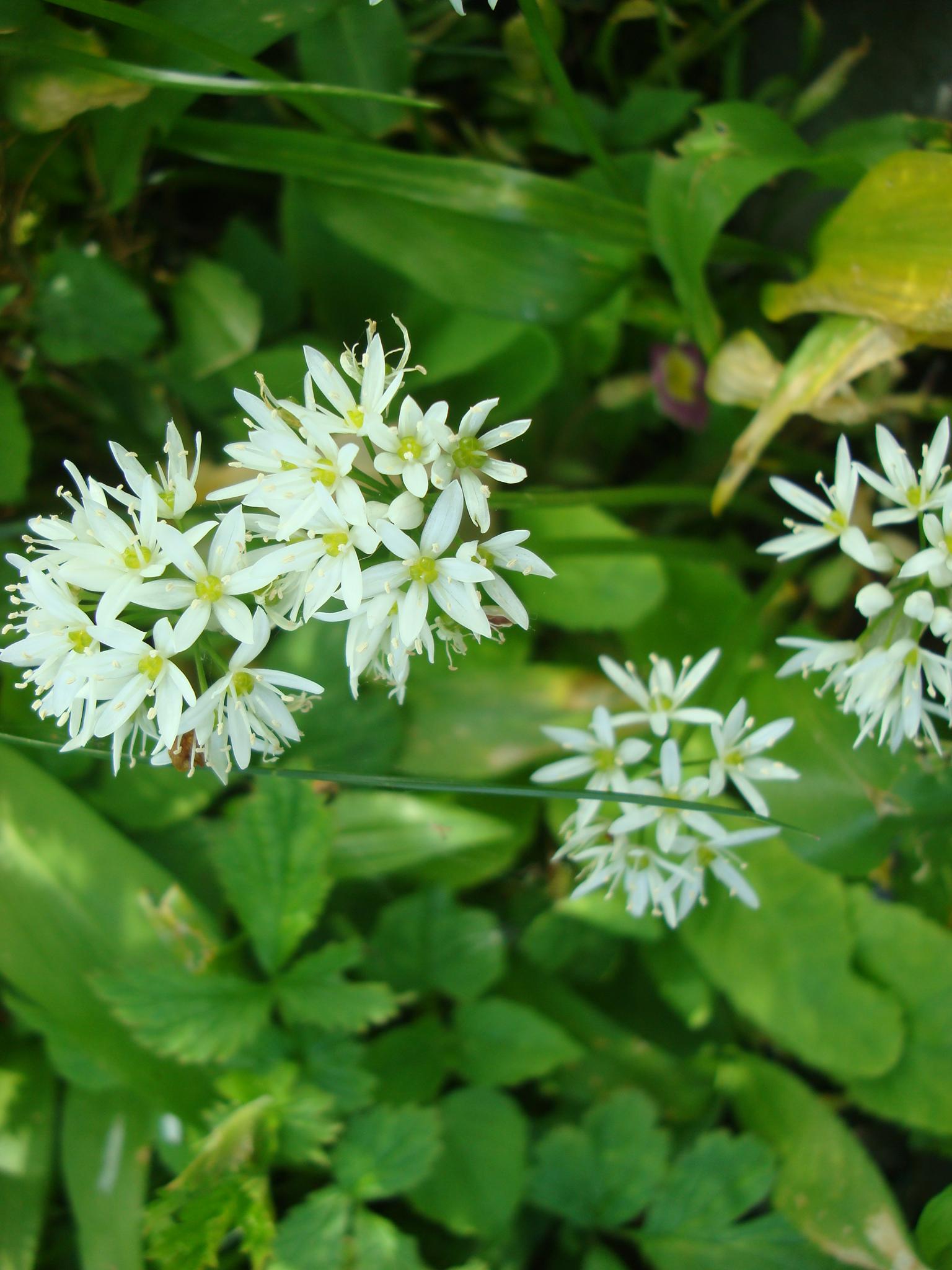 Orange herb and wild garlic flower salad